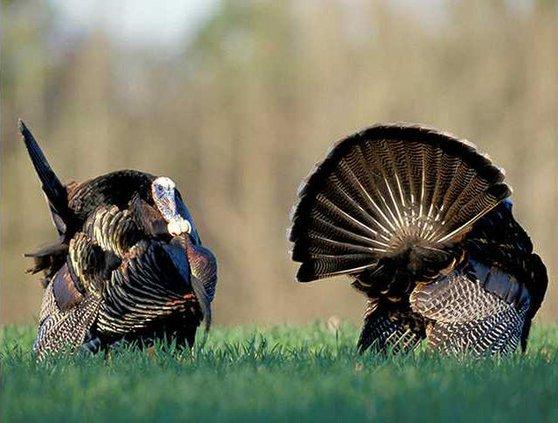 turkeys