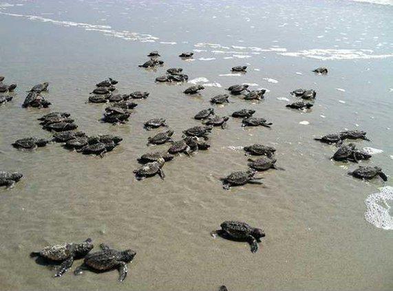 turtle hatchings