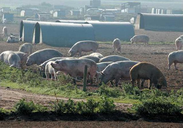0817 Pig hogs