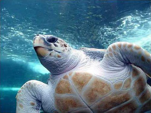 Loggerhead-Sea-Turtle-Photos