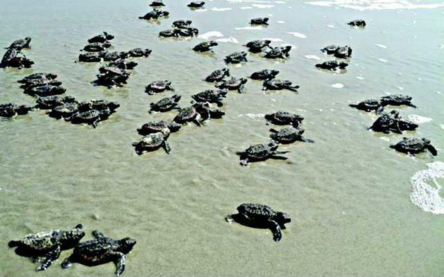 SeaTurtleHatchlings DNR