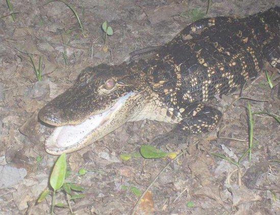 Sub Wildcut Alligator