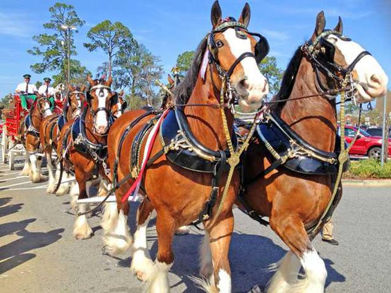 WEB 0316 Clydesdales