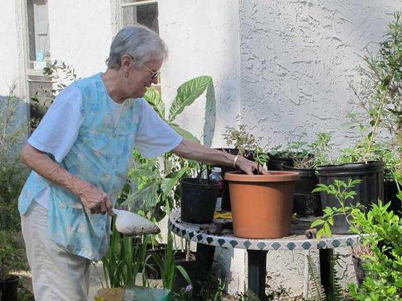 WEB Dot Moss transplants a young fig tree.