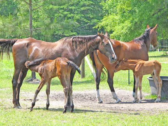 WEB mares feeding young colts