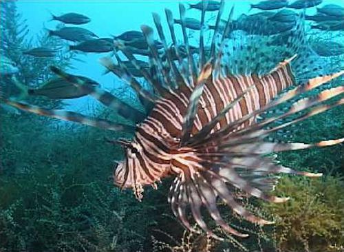 0705 lionfish