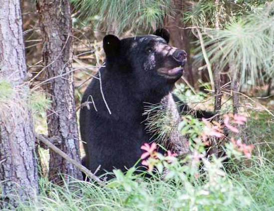 Real Midway bear