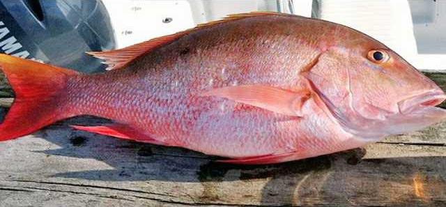 red snapper - photo by Dave Hickson NOAA