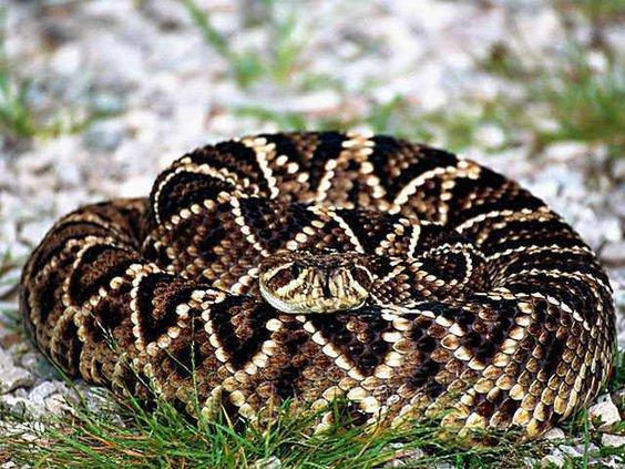 web 0129 Coiled snake