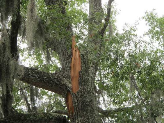 Bradwell Park tree 1