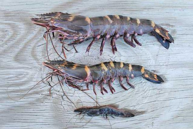 Life Stages Tiger Shrimp