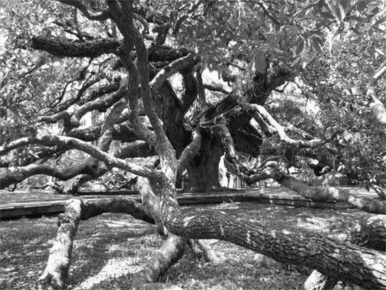 Willett-Treaty-Oak
