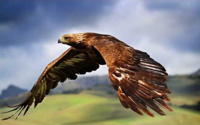 golden-eagle-flying-wallpaper