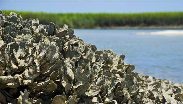 oyster-research