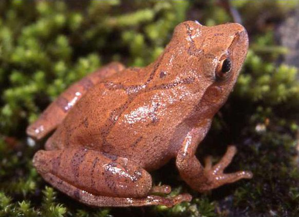 spring peeper frog photo provided by DNR