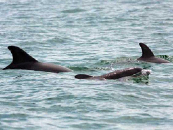 web closeup Dolphins near Yellow Bluff - Debbie Brown