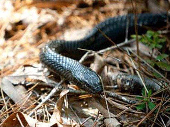 0627-indigo-snake-1