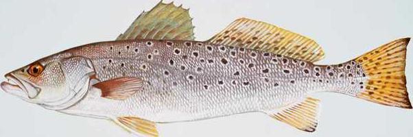 Spotted seatrout fish cynoscion nebulosus