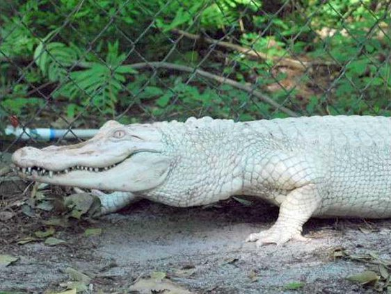 WA Albino Alligators - 1