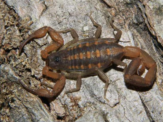 Striped scorpion common to south Georgia
