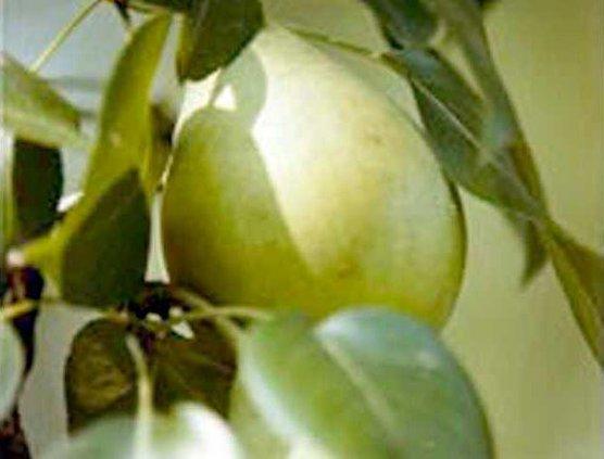 0925 LeConte pear