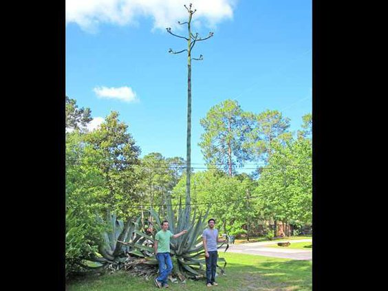 Zach Mudd and Albert Tart stand next to blossoming century plant