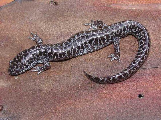 flatwoods salamander