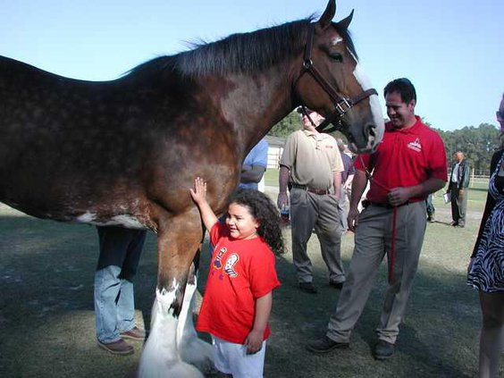 Clydesdales 014