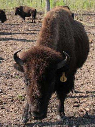 WEB Buffalo ranch 2