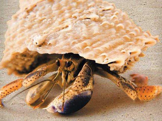 0828 hermit crab