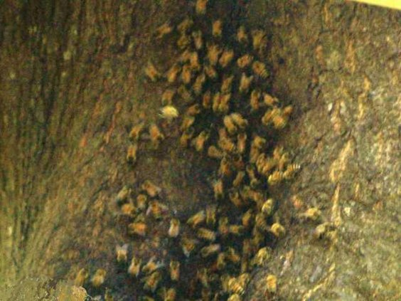 Bees in Richmond Hill 1