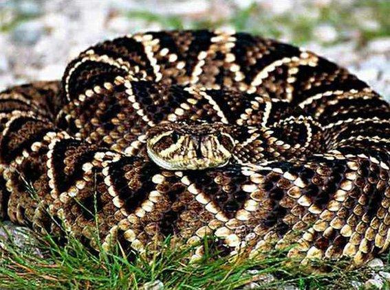 0129 Coiled snake