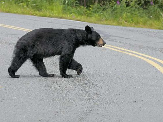 Black Bear Crossing Street