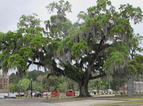 Georgias state tree the live oak tree produces truckloads of pollen every spring