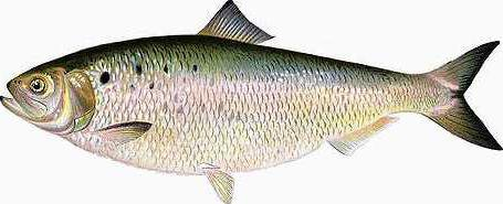 American Shad page image