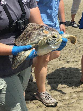 Krakatoa sea turtle