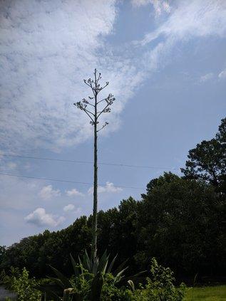 century plant 4