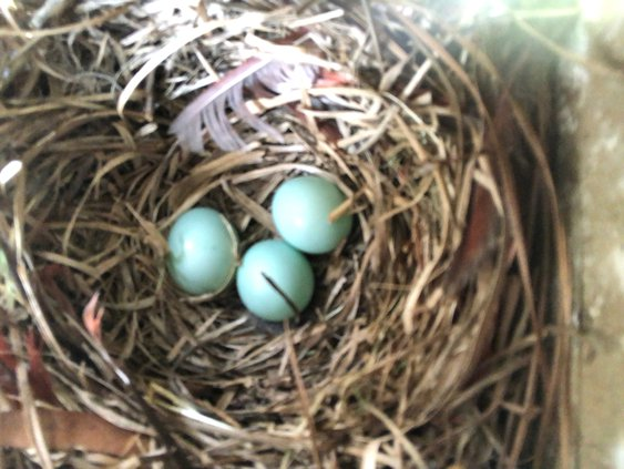 Bluebord eggs