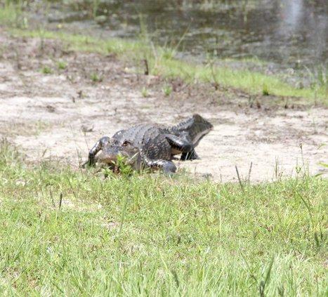 gator hazard