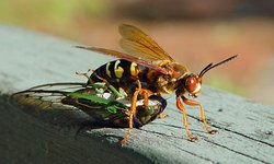 cicada and wasps