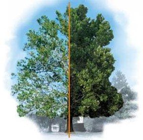shade tree decline